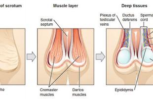 Lo Scroto: come è fatto e perchè può ammalarsi